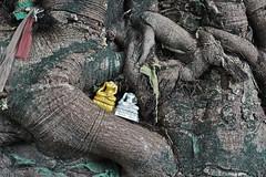 Headless Buddhas in tree, Chiang Mai, Thailand