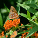 Fritillary on Butterfly Weed by thoeflich