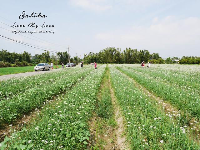 桃園一日遊旅遊景點中新里韭菜花 (18)