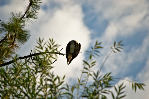Osprey Preening High Up in an Evergreen Tree Near the Lakeshore