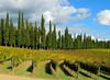 Viilla Arceno - vigne e cipressi