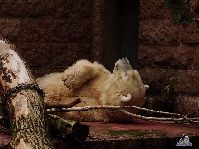Eisbär Fiete im Zoo Rostock 19-09.2015 Teil 3  061