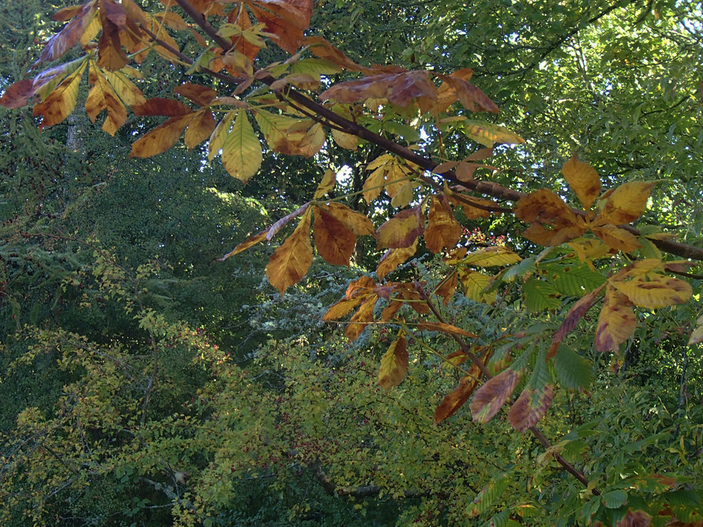 horse chestnut autumn colour