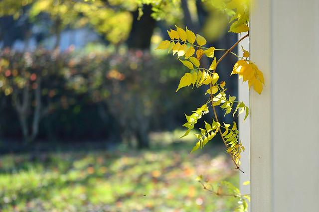 黄葉_フジ  Japanese wisteria