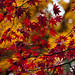 Autumn. Herfst. Herbst. 002. Acer. Irohamoiji. by George Ino