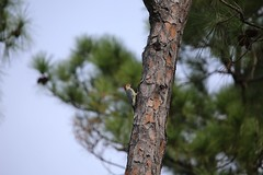 red bellied woodpecker #1