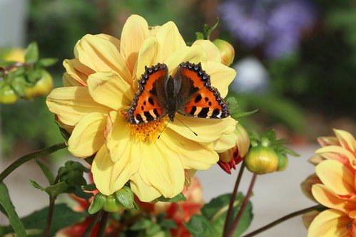 Small tortoiseshell, yellow dahlia