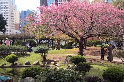harumi-kubiski-cerejeiras_9243445296_o