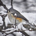 Tufted Titmouse in first snow