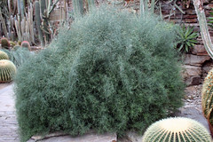 Koeberliniaceae