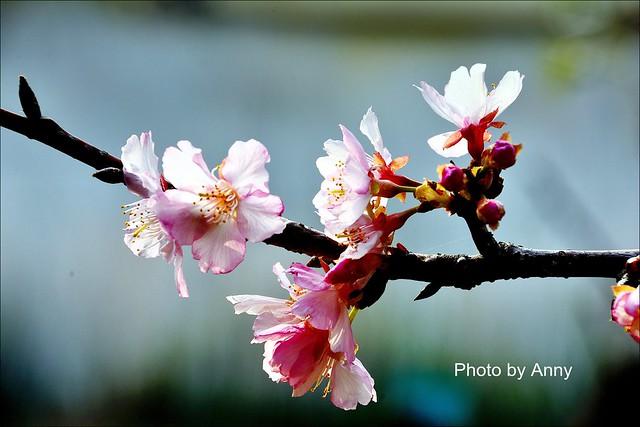 麗池櫻花42