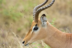 Springbok at Kruger National Park, Limpopo, South Africa