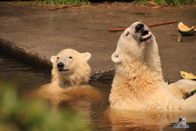 Eisbär Fiete imm Zoo Rostock 15.08.2015 Teil 2  301