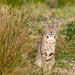 Bobcat near Abbotts Lagoon by Pat Ulrich