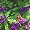 Butterflies, you are all welcome here! Tell your friends. #butterfly #garden