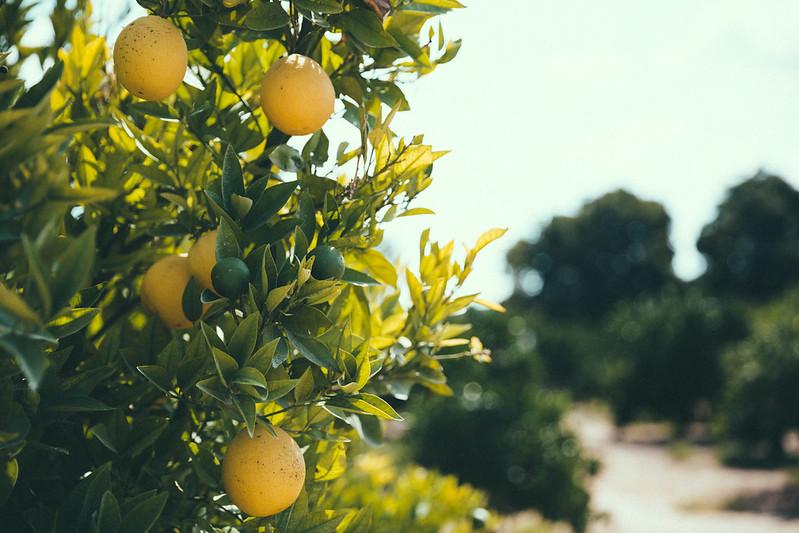 gin-eva-recogida-naranjas-baja-4