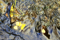Flowing Water Over Golden Leaves W_9651