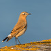 Wheatear-12 by Andrew Haynes Wildlife Images ( Thanks )