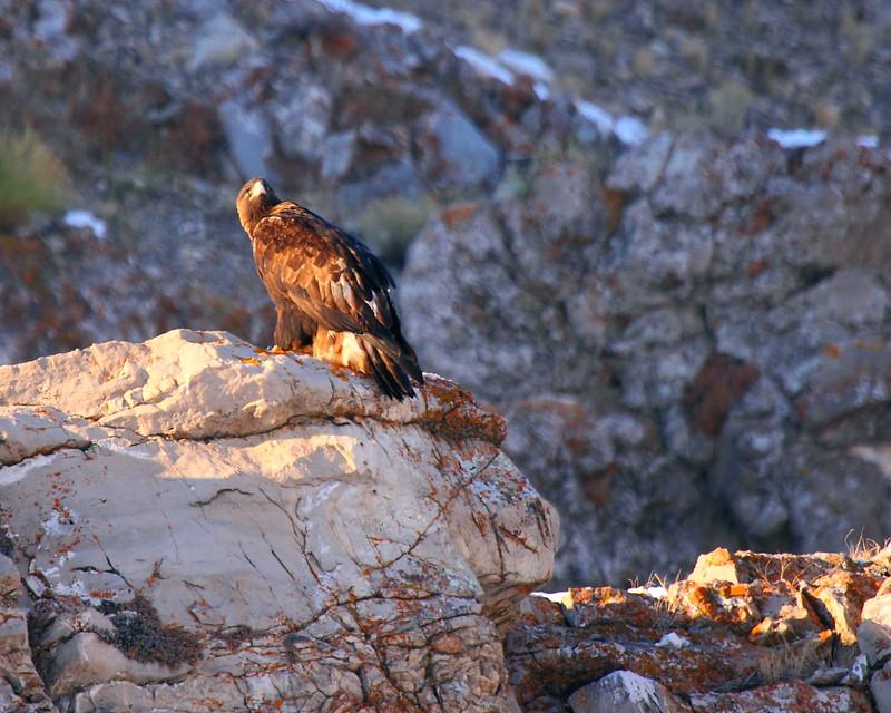 IMG_8758 Golden Eagle, National Elk Refuge