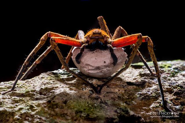 Huntsman spider (Heteropoda sp.) - DSC_7346