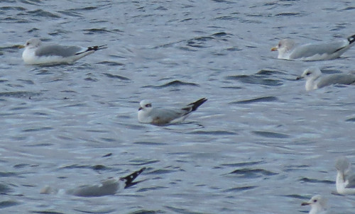 Mediterranean Gull Ichthyaetus melanocephalus Tophill Low NR, East Yorkshire November 2015