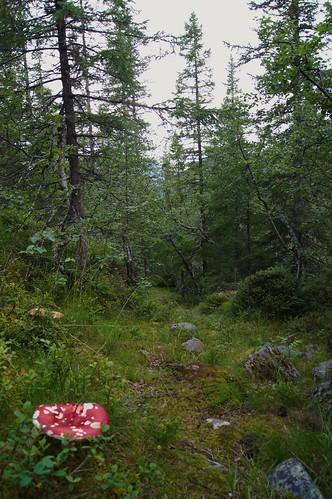 norwegen norway vang valdres oppland forest wald fliegenpilz pilz mushroom exploring wandern wanderlust trees baum mountain berg nature natur landscape hiking landschaft trail grass