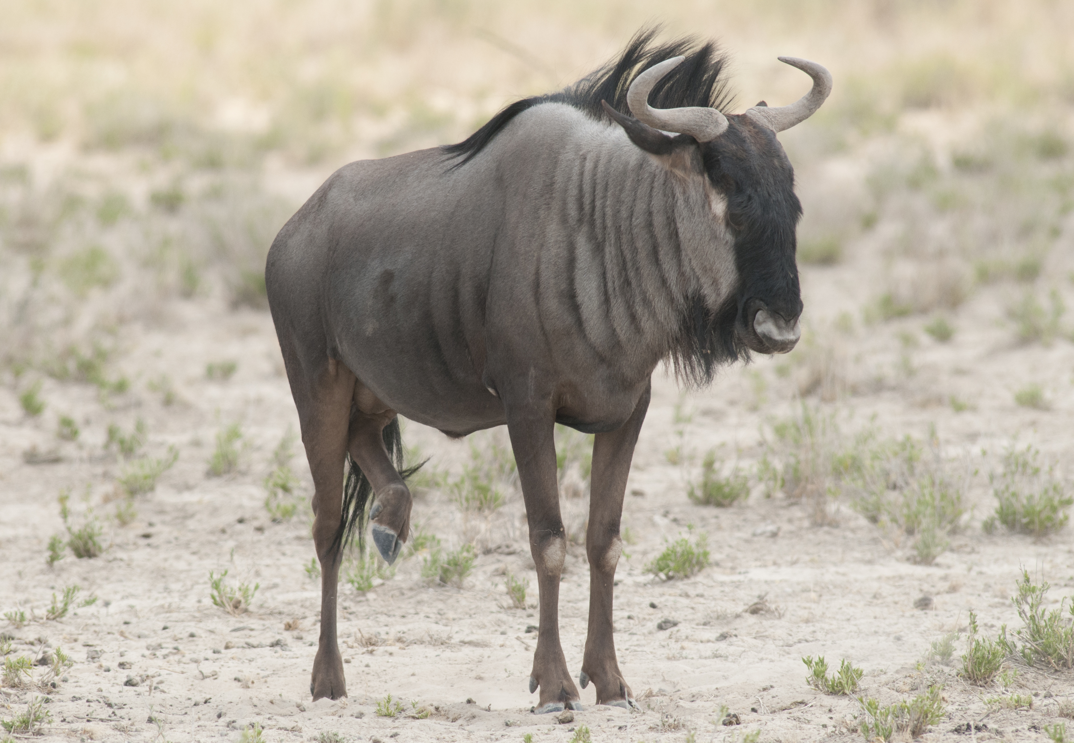 blue wildebeest  connochaetes taurinus   etoscha national park  namibia