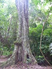 Brosimum alicastrum (Mayan Nut)