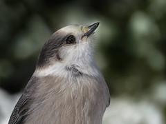 Portrait du Mésangeai du Canada | Forêt Montmorency | Saint-Ferréol-les-Neiges | Québec