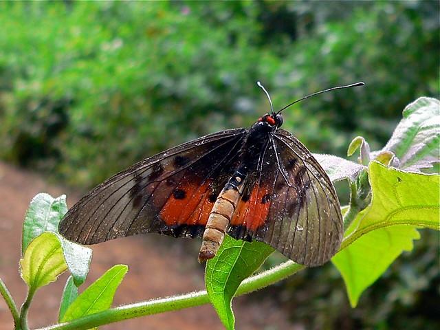 Header of Acraea Abdera Eginopsis