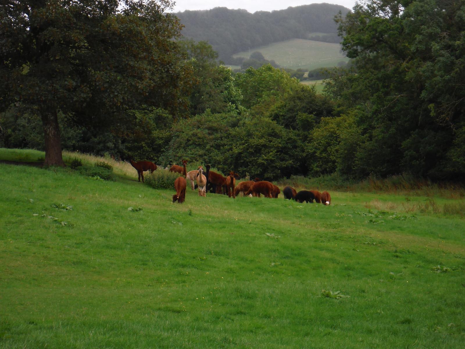 Alpaca Farm, Ridge hamlet SWC Walk 248 Tisbury Circular via Hindon