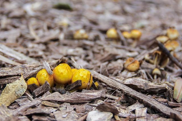 Small yellow cap mushrooms