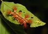 Shared Leaf by John Horstman (itchydogimages, SINOBUG)