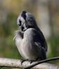 Blue Jay by lintonscott99