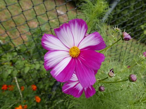 20151004 Cosmos bipinnatus picotee