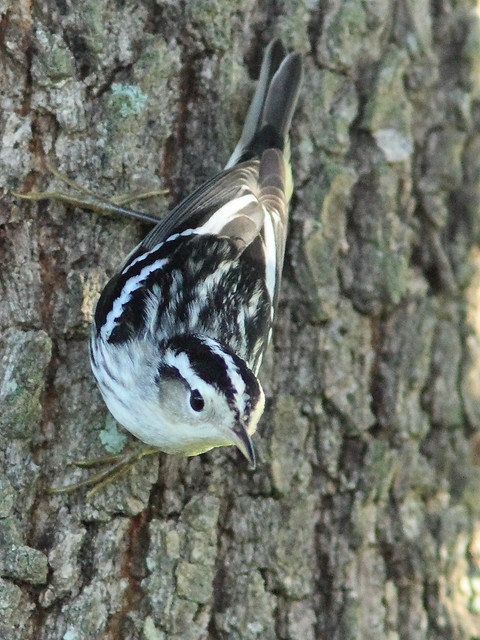 Black-and-White Warbler 12-20151006