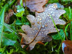 Oak leaf and droplets