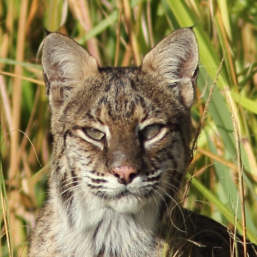 Bobcat Portrait 01-20151020