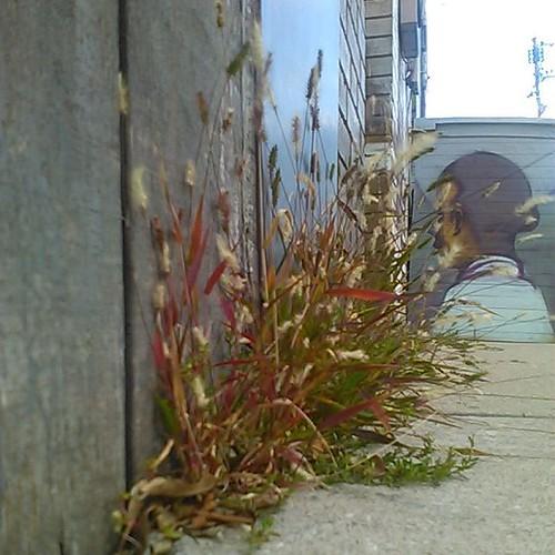 Sidewalk grasses #toronto #dovercourtpark #dovercourtroad #sidewalk #grass