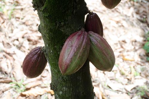 ashanti ghana cocoa africa westafrica