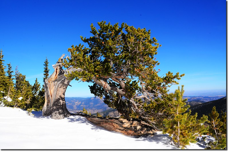 Bristlecone pine on the Chief Mountain 1