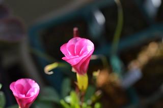 DSC_1307 Oxalis 'momo-no-kagayaki' オキザリス 桃の輝き