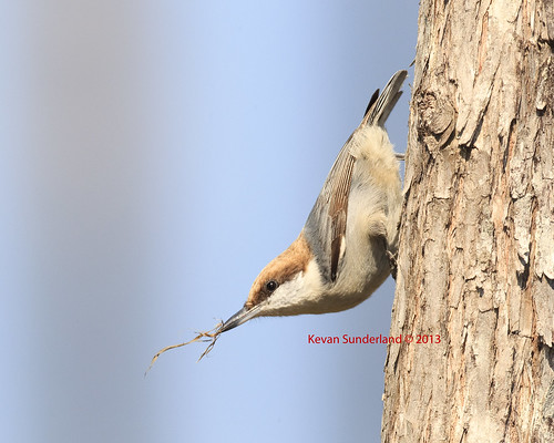 Brown-headed Nuthatch In Pine Woodlands With Nesting Material