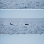 orche