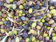 Το τίναγμα της ελιάς το φθινόπωρο στη Ψίνθο (2015)