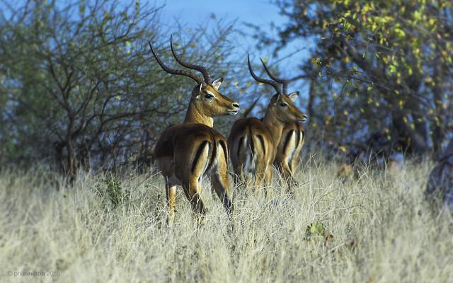 Morning Has Broken - Impala Antelopes