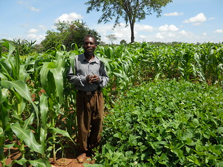 Farmer Richard Zimba standing in front of a rotational cowpea plot, which offers leaves for relish, groundcover to suppress weeds, soil fertility improvement and grain at harvest Photo credit: Christian Thierfelder/CIMMYT