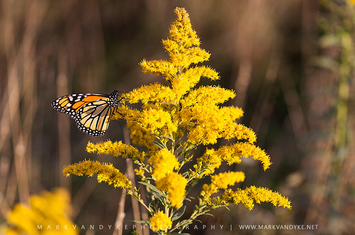 butterfly migratingbutterfly migration goldenrod monarchbutterfly fuelup flower autumn october northcarolina nc westernnorthcarolina wnc blueridgemountains mountains appalachianmountains southernappalachianmountains mosesconememorialpark outdoors outside landscape photography