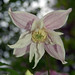 Small photo of Clematis to Ella