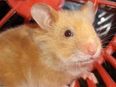 Hamster (167)